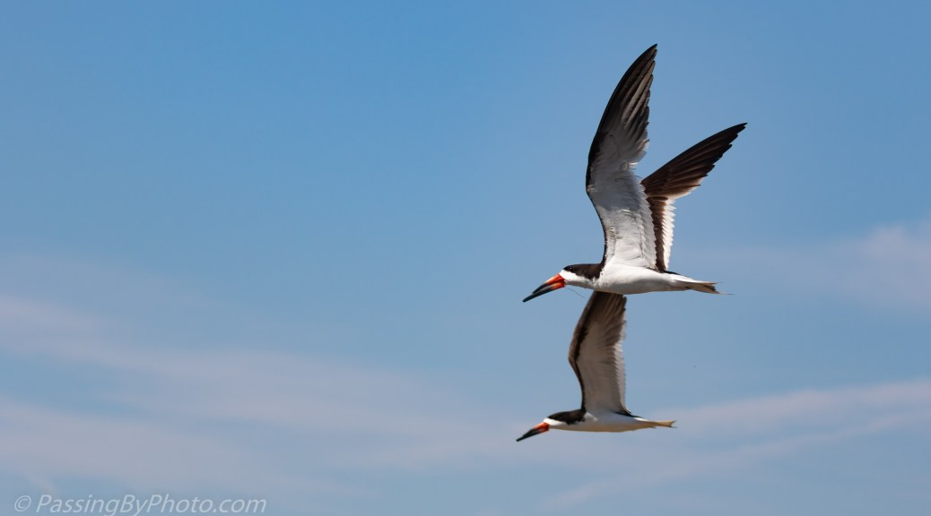 Black Skimmer Pair in Flight