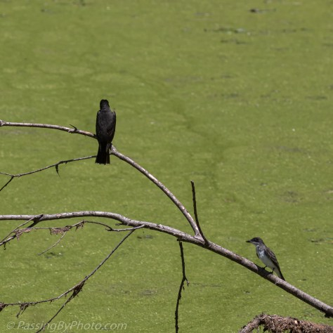 Eastern Kingbird and Chick