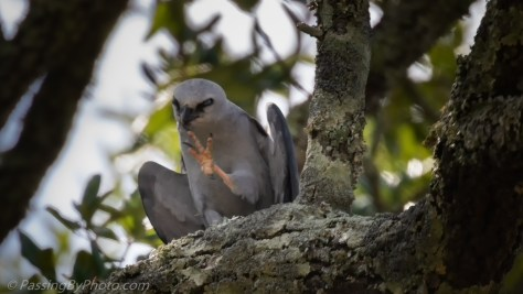 Mississippi Kite Foot Up Scratching