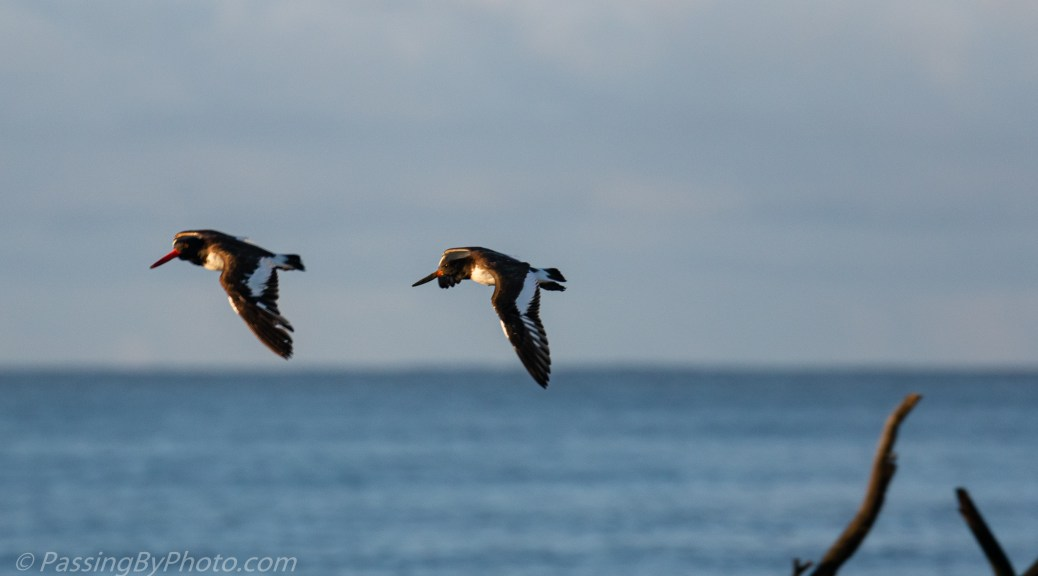American Oystercatchers in Flight