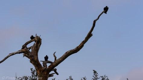 Three Black Vultures in Dead Tree
