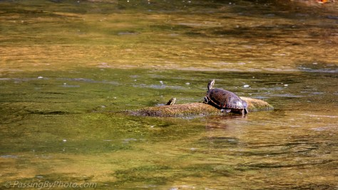 Turtle in Enoree River at Musgrove
