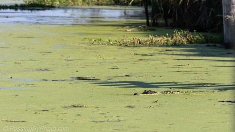 Alligator Swimming Through Duckweed