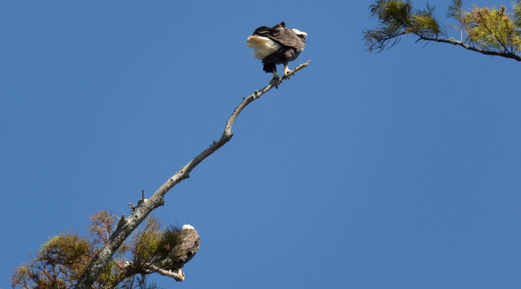 Bald Eagle Pair From Underneath