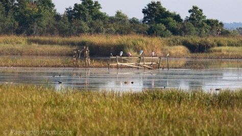 Wading Birds in the Marsh