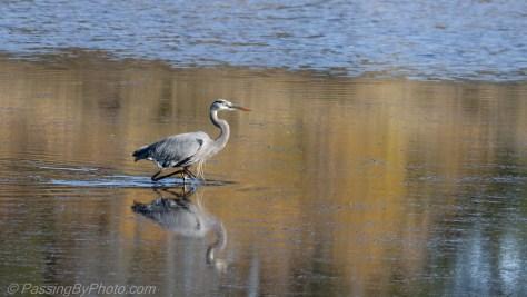 Great Blue Heron Strolling in Pond