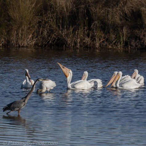 White Pelicans, Wood Stork, Great Blue Heron