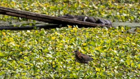 Green Heron, Alligator on Ramp Behind