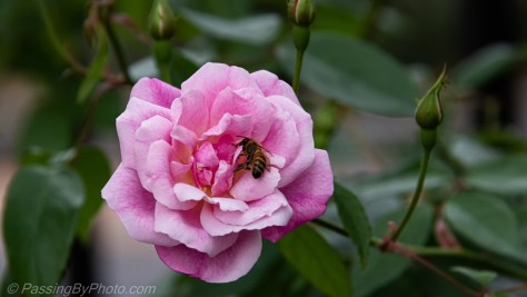Bee on Pink Rose