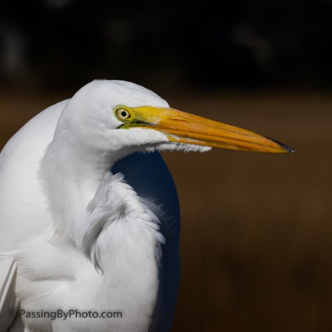Great Egret on Boardwalk