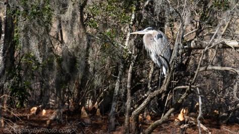 Great Blue Heron Under Trees