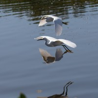 Snowy Egrets Flying with Reflections