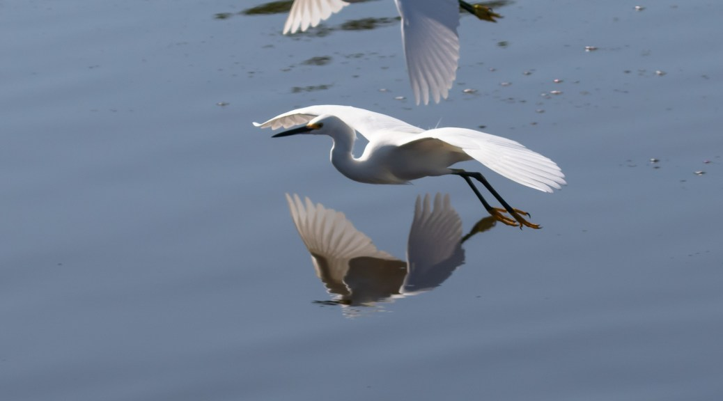 Snowy Egret Pair with Reflections