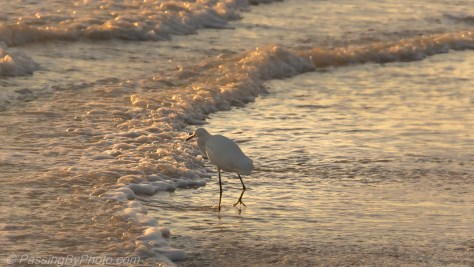 Great Egret Fishing in Surf