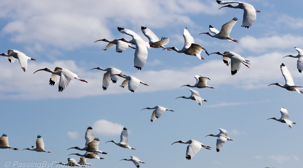 White Ibis Flock in Flight