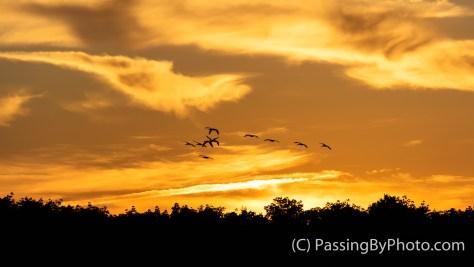 Flock of Ibis at Sundown