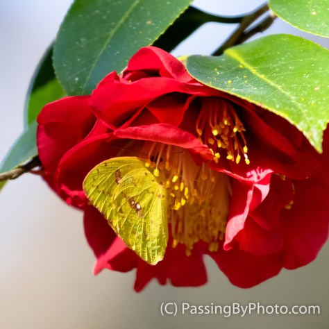 Cloudless Sulfur Butterfly on Camellia
