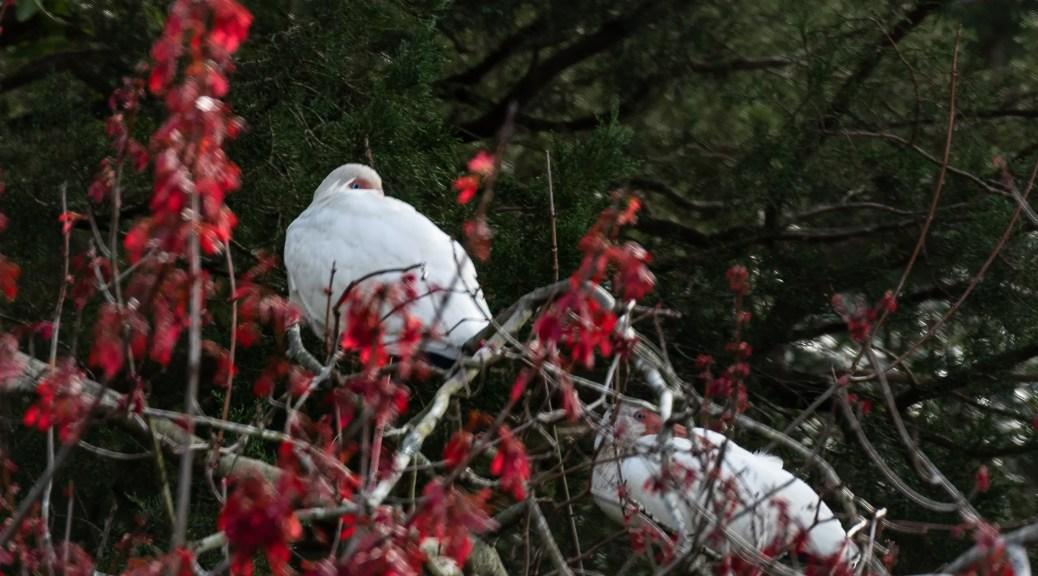 White Ibis in Maple Tree