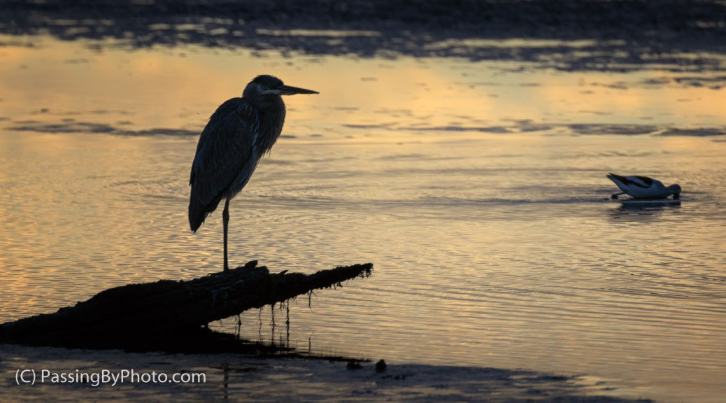 Great Blue Heron on Driftwood