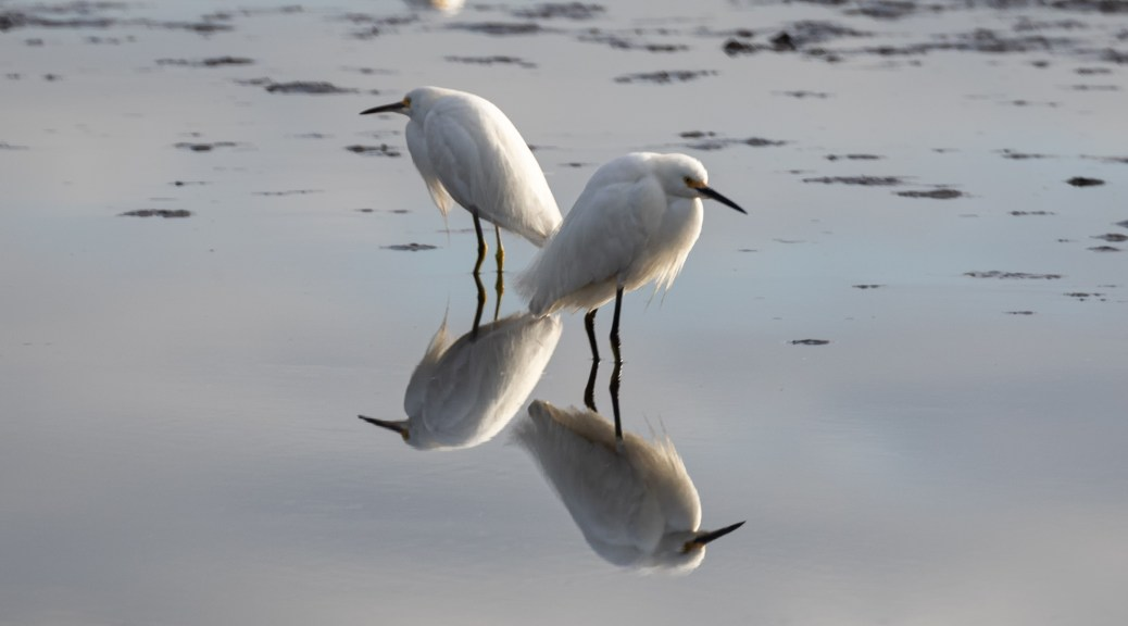 Snowy Egrets Standing in Pond