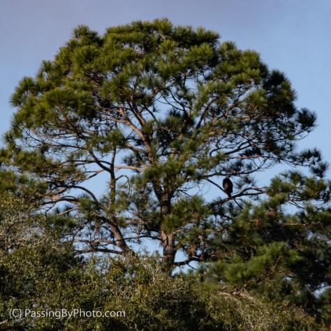 Pine Tree with Bald Eagle