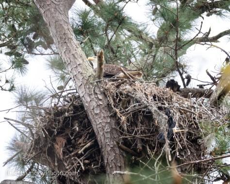 Adult Bald Eagle on Nest