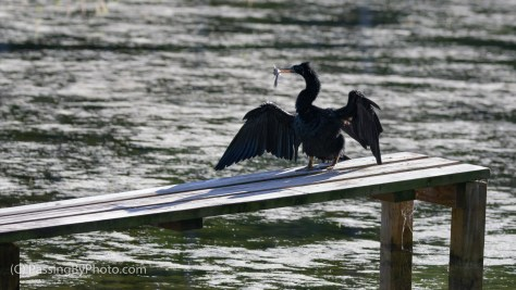 Anhinga With Catch