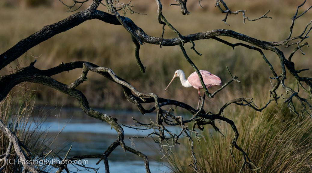 Roseate Spoonbill, Framed by Gnarly Tree