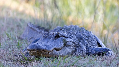 Alligator Laying on Bank