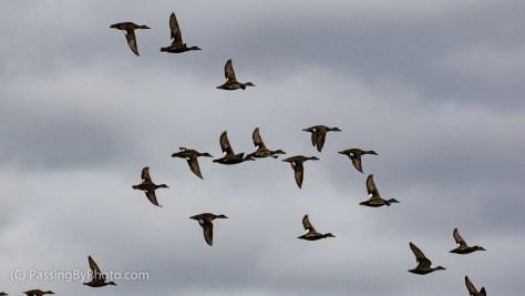 Flying Duck Flock