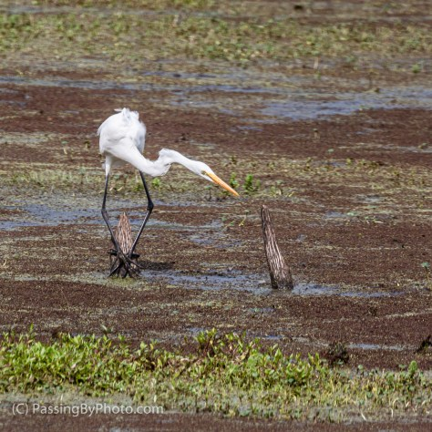 Great Egret Hunting Moves