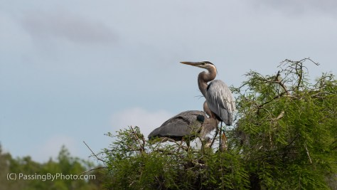 Great Blue Heron Pair with Chicks