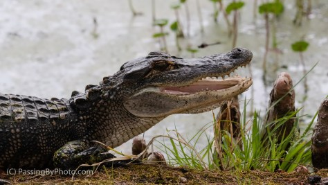Alligator, Head Up