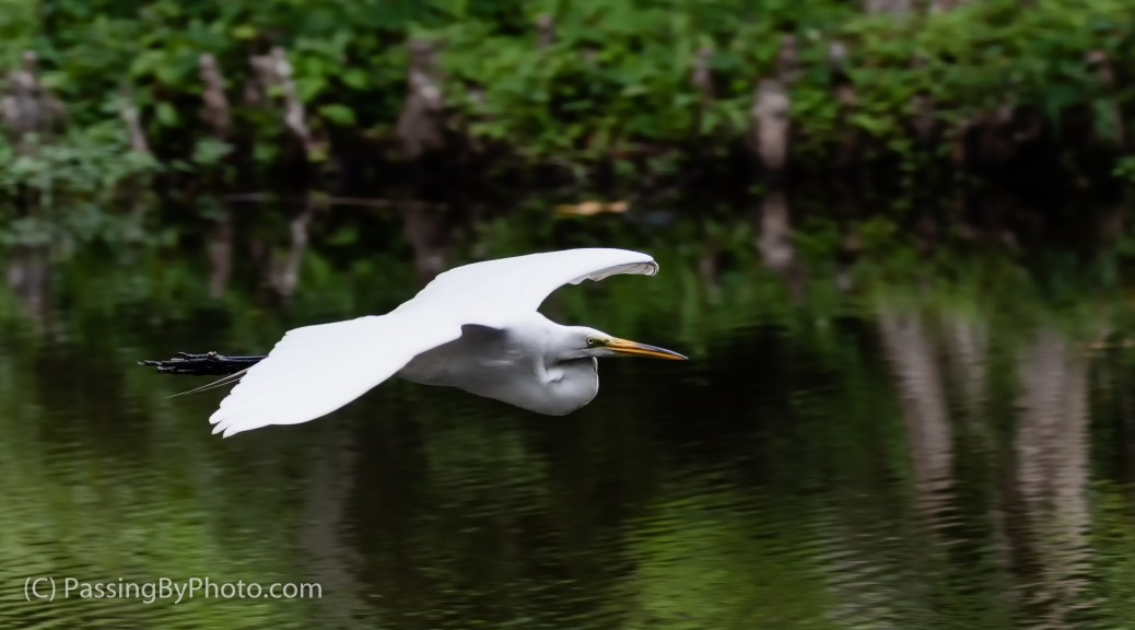 Great Egret Flying By