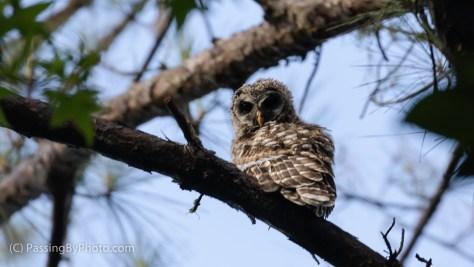 Bared Owl Owlet