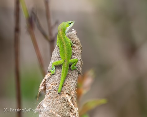 Carolina Anole with Broken Tail