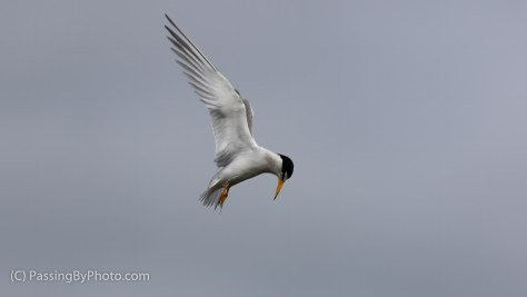 Least Tern Hovering