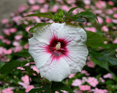 Red and White Hibiscus
