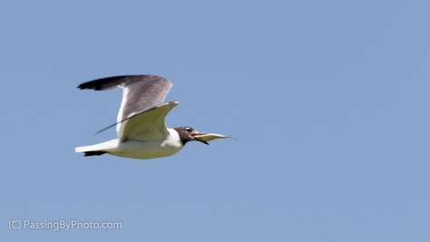 Gull Flying with Fish