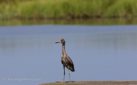 Juvenile Yellow-crowned Night Heron on Dock