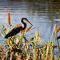 Tricolored Heron and Cattails
