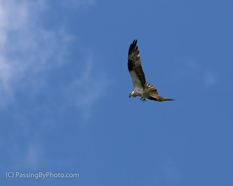 Osprey Fly-by, Claws Out