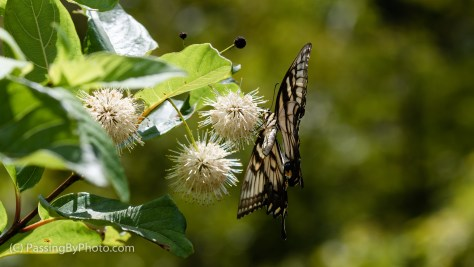 Yellow Swallowtail Butterfly on Buttonbush