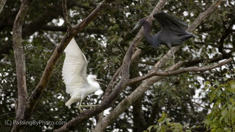 Juvenile Little Blue Heron Flight School