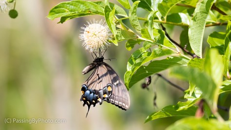 Black Swallowtail on Button Bush