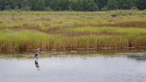 Great Blue Heron at Edge of Marsh