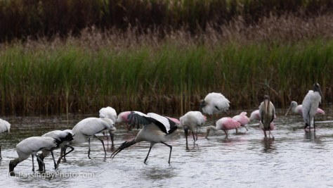 Wood Storks and Roseate Spoonbills Feeding