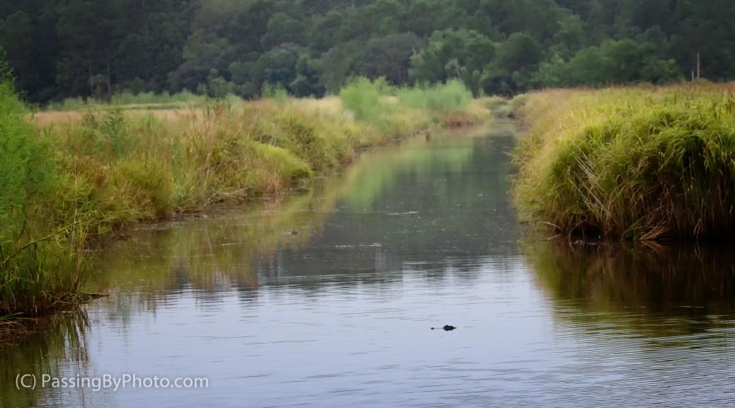 Alligators In Canal, Marsh Scene