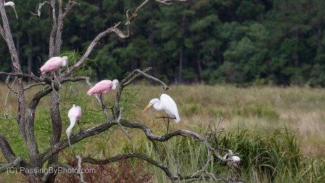 Great Egret and Spoonbills