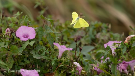 Cloudless Sulphur Butterfly on Morning Glory
